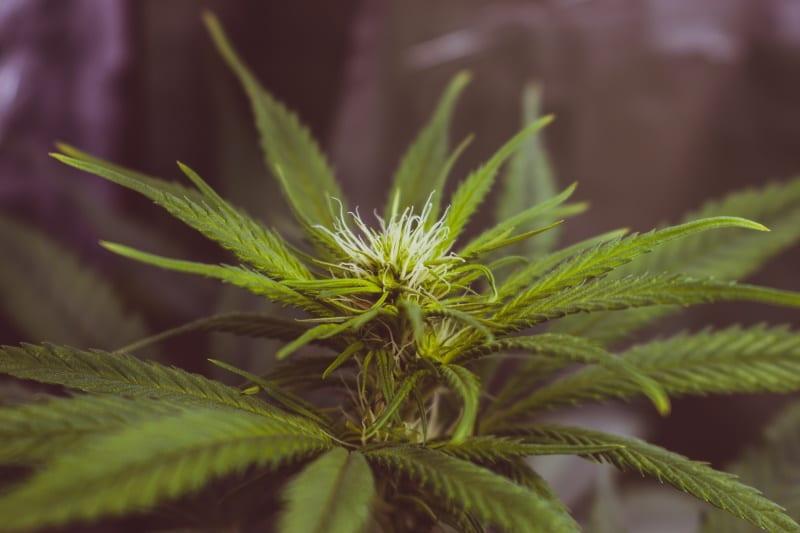 צמח קנאביס